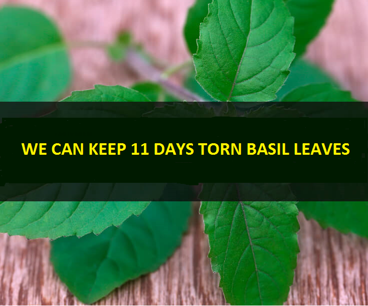 TORNED_BASIL LEAVES